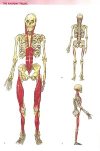 Fascia and muscle connections